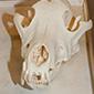 Læs mere om: Se ulve-skelettet i vinterferien