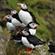 Læs mere om: Færøsk Trækfugleatlas