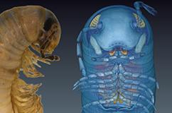 Ommatoiulus avatar i selskab med sin blå