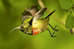 Moreau's sunbird. Foto: Michele Menegon.