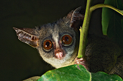 Mountain dwarf galago. Foto: Michele Menegon.