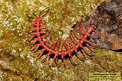 Et eksemplar af drage-tusindbenet Desmoxytes breviverpa. Foto: R. Sriconchai.