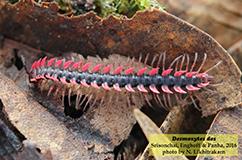 Et eksemplar af drage-tusindbenet Desmoxytes des. Foto: R. Sriconchai.
