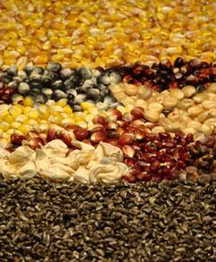 Majsens udvikling fra vilde teosinte-kerner (nederst) til forskellige variationer af domesticerede majs (i midten) til moderne, kommercielle majs (øverst). Photo: Thomas Kono.