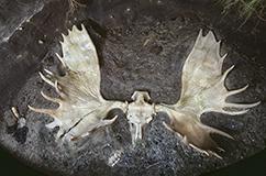 Kranie af elgtyr udgravet i Kildeskoven i Gentofte i 1935. Kraniet og resten af dyrets skelet blev under dramatiske omstændigheder hentet op fra bunden af en 6 meter dyb skakt. Her er det fotograferet i Zoologisk Museums udstillinger, hvor man af praktiske grunde har måttet anbringe det i et knapt så dybt hul. Foto: Geert Brovad.