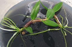Foto: Dendrobium devonianum (småplanter)