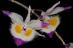 Foto: Dendrobium devonianum