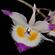 Læs mere om: Sjældne orkidéer vender hjem til Thailand