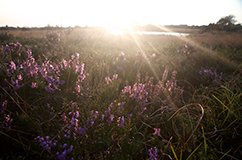 Lyngheden på Læsø, som er lyngløberen foretrukne habitat.