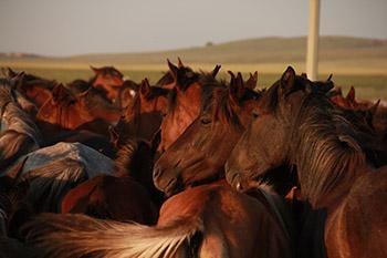 Kazakh heste i det nordlige Centralkazakhstan. (Copyright: Ludovic Orlando, Statens Naturhistoriske Museum og CNRS).