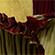 Læs mere om: Amorphophallus titanum blomstrer igen