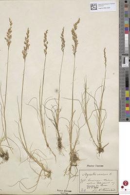 Skanning af Agrostis canina