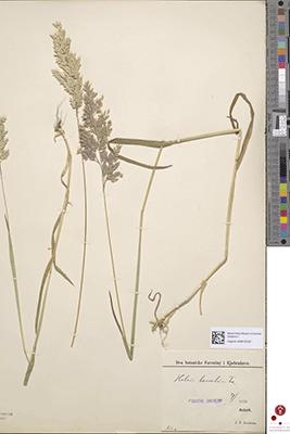 Skanning af Agrostis canina (Hunde-hvene) indsamlet af den danske botaniker Christen Raunkiær (1860-1938) nær Tarm i 1889.