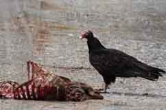 A Turkey Vulture standing over the carcass of a white-tailed deer. Credit: Gary Graves, Smithsonian Institute.