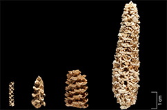 Morphological variation in maize cobs from Tehuacan, Mexico; in the Collections of the R. S. Peabody Museum. Age of cobs from left to right (calibrated calendar years intercept): 5,310 BP; 5,280 BP; 1,330 BP; 1,220 BP. The second cob from the left was used by da Fonseca et al. Photo by Donald E. Hurlbert, Smithsonian Institution.