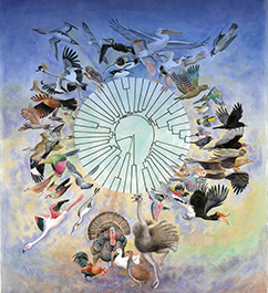Figure 1. The new avian family tree based on whole genomes of 48 bird species representing all 30 neoavian orders and two galloanserae orders and two palaeognathae orders. For more detail, see ref (4) and other studies at http://avian.genomics.cn/en/index.html. Painting by Jon Fjeldså.