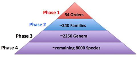 Figure 2. The B10K plan in four phases. We are carrying out the project in phases based on the hierarchical levels of avian classification. The ordinal level phase of about 34 orders has been accomplished (1), while the genomic data collection for representative species of about 240 families is ongoing right now. The specimen collection for the phase 3 of 2250 genera and phase 4 of the remaining 8000 species is under way.