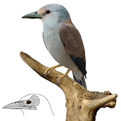 Life reconstruction of the new roller-like bird from the Danish Mo-Clay. Credit: Estelle Bourdon, Natural History Museum of Denmark.
