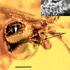 Close up of the anther cap with damaged pollinium and attaching strings seen in the upper part. The lower part covered by a semitransparent layer of trapped air. Scale bar = 170 μm. Black arrows show attachment to the insects leg. White arrow points position of the insert (close up of pollen, scale bar 48 μm).
