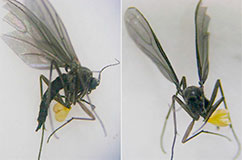 Extant darkwinged fungus gnat (Bradysia sp.) carrying pollinia of a modern orchid (Pleurothallis marthae) on the same leg. (Photo: J. Tupac-Otero, published in Lankasteriana13: 411(2014)