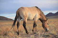 Copyright: Ludovic Orlando. A Przewalski's horse at the Khomyn Tal reintroduction reserve, Mongolia, May 2014. The Khomyn Tal reintroduction reserve is managed by the TAKH Association pour le cheval de Przewalski (http://www.takh.org/en/).