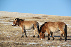 Copyright: Bazartseren Boldgiv. Przewalski's horses at the Kustai National Park, Mongolia.